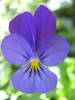 Wild Pansy by musicalcat