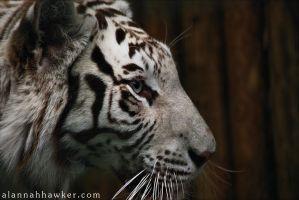 White Tiger by Alannah-Hawker