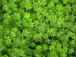 Many Clovers by SN2