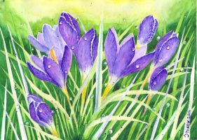 Crocuses by Shiaty
