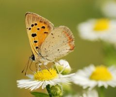 Lycaena phlaeas.11 by amensis