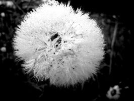 Frosted dandelion seed by bananarama96