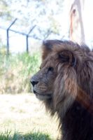 Lion Stock 2 by CNStock
