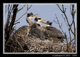 Heron Chicks by andy-j-s