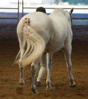 STOCK - 2014 Andalusian Nationals-3 by fillyrox