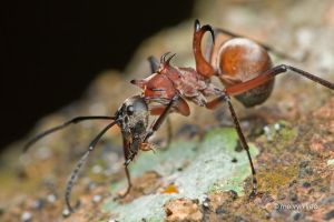 Fish-hook ant (Polyrhachis bihamata) by melvynyeo