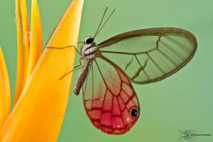 Glasswing butterfly by ColinHuttonPhoto