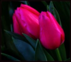 TWO TULIPS by THOM-B-FOTO