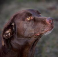 Chocolate Brown Dog by DanaHaynes