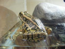 Pickerel Frog by tobysq