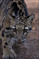 Clouded Leopard 3 LP012208 by hoboinaschoolbus