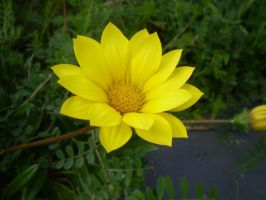yellow flower by Liviy22
