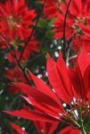 Poinsettia by Makki-Summer