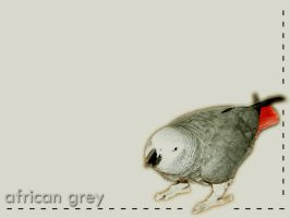 African Grey by Identify-Me