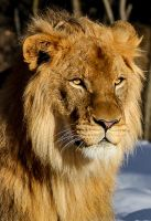 Lion portrait by nigel3