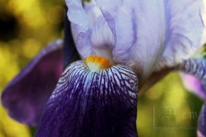 Iris by head-in-the-cloud