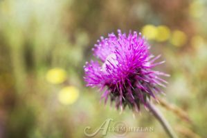 Thistle by alkimh