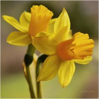 Daffodil-yellow Narcissus pseudonarcissus by SvitakovaEva