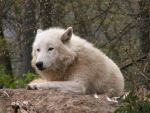 North American Arctic Wolf 05 by animalphotos