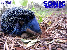 Sonic the Real Hedgehog by Alrow