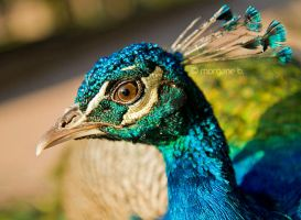 Peacock III by moem-photography