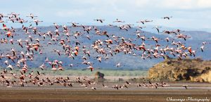 Flight of the Flamingoes by Okavanga