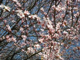 Spring Branches by Akaitiskui