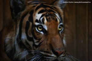 Tigress by Jagu77