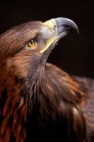 Golden Eagle by flumpo