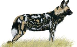 African Wild Dog by Nioell