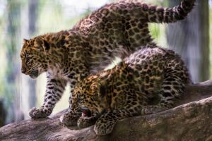 Leopard Cubs by DGPhotographyjax