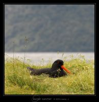 Oyster Catcher by Crooty