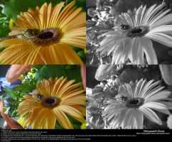 Yellow Daisy Stock 7 - Dragonfly by Melyssah6-Stock