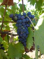 Grapes of Wine by BlackFlameVampire