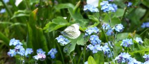 Green-veined White Butterfly by Saberryna