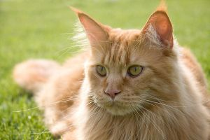 Maine Coon by d3va