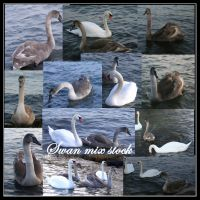 Swan mix package by Iardacil-stock