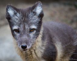 Arctic Fox by MirMidPhotos