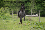 black arabian 4 white stock trot direct at camera by slime-stock
