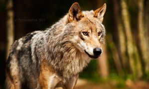 The Majestic Grey Wolf by PictureByPali