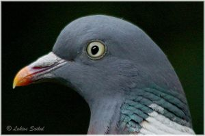 Portrait Of A Wood Pigeon by lukias-saikul