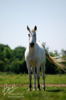 White horse by ivecus