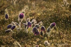 Pasque Flower by Grandmagoingnuts