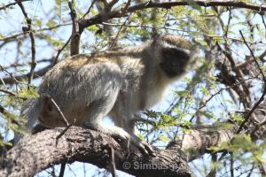 Vervet Monkey, adult by Simbas-pal