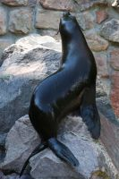Sea lion Stock 13 by Malleni-Stock