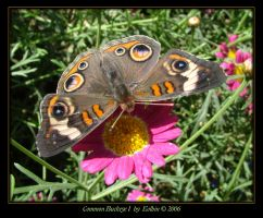 Common Buckeye I 8988 by Eolhin
