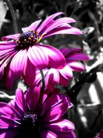 Daisys 2 by musicismylife2010