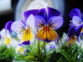 Pansy by theflannelmodel