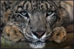 Male Snow Leopard by cycoze