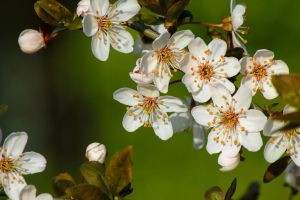 White Cherry Blossom by MartinJP
